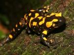 Czech Fire Salamander