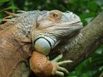 Dragon Iguana