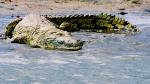 Nile Crocodile (2)