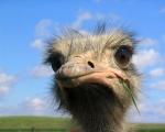 Ostrich (2)