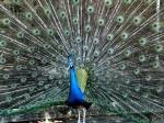 Peafowl (2)