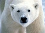 Polar Bear (2)