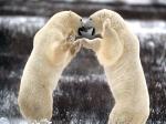 Polar Bear (3)