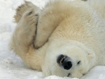 Polar Bear (4)
