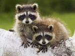 Racoon Babys