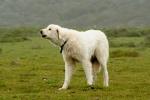 Turkish Akbash Dog